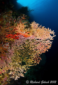 Multi color Gorgonian Sea Fan-Weda Bay,Halmahera by Richard Goluch